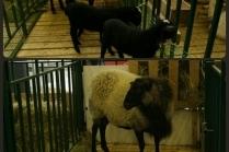 Разведение овец в домашних условиях как бизнес