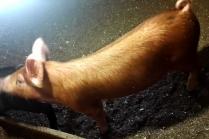 Как варить холодец из свиных ног