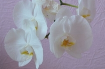 Как поливать орхидеи фаленопсис