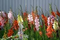 Как посадить гладиолусы весной: правила, советы, рекомендации