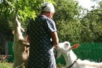 Разведение коз как бизнес. Рентабельность