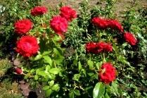 Как дома посадить розы из букета черенками