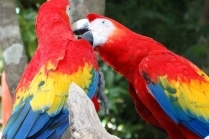 Как ухаживать за попугаем неразлучником