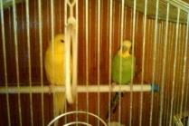Как ухаживать за волнистым попугаем