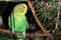 Как приучить попугая есть овощи и фрукты